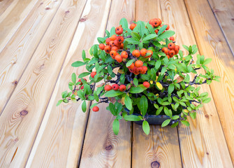 small bonsai tree with orange berries on wood background