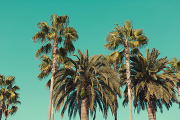 Palm trees at Santa Monica beach.