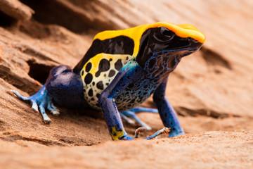 poison frog Dendrobates tinctorius