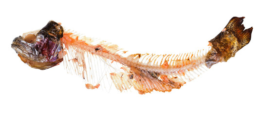 picked skeleton of trout fish isolated on white