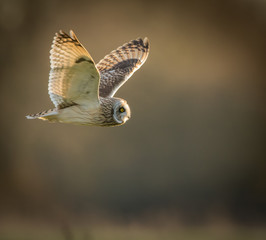 Wild Short eared owl in flight looking forward, wings up(Asio fl