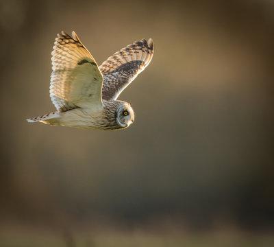 Wild Short eared owl in flight looking forward, wings up(Asio fl
