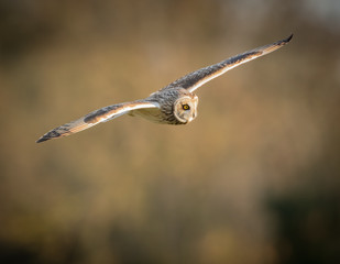 Wild Short eared owl in flight with straight wings (Asio flammeu
