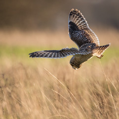 Wild Short eared owl stops in flight and starts to dive on prey