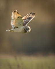 Wild Short eared owl in flight (Asio flammeus)