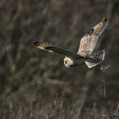 Wild Short eared owl stops in flight and looks for its prey (Asi
