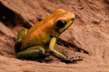 poison arrow frog Phyllobates bicolor