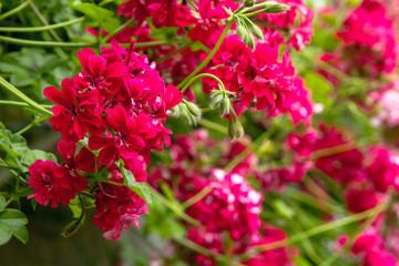 Red trailing pelargonium close up