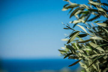 Young green olives hang on branches