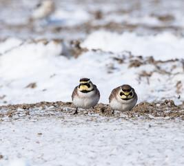 Horned Larks in Winter