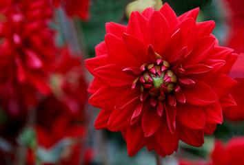 Red Berliner Kleene Dahlia Dahlia pinnata
