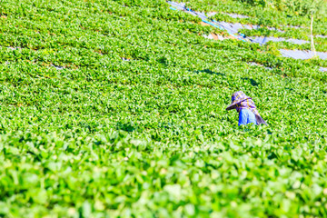 Women farmer gathering strawberry at plantation.
