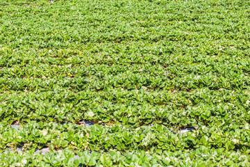 Strawberry farm or plantation.