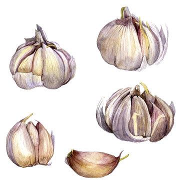 watercolor drawing garlic