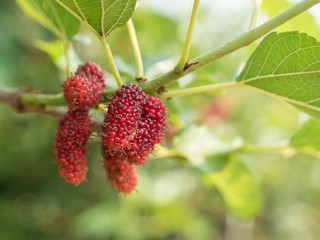 Mulberry fruit on branch.