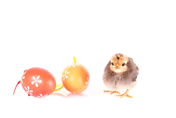 Small chicken and eggs isolated on white