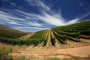 Cape Vineyards