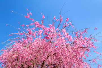 Wall Mural - Pink cherry blossom in spring with blue sky background.
