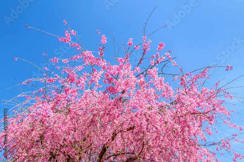 Wall mural Pink cherry blossom in spring with blue sky background.
