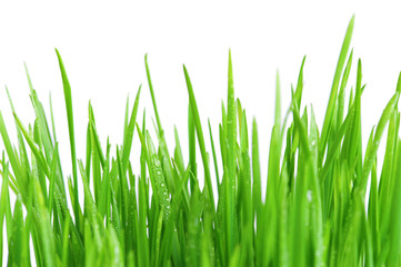 Fresh bright green grass on the white background