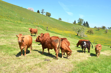 Wall Mural - Cows in Emmental region, Switzerland