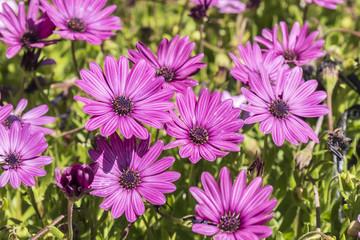 Dimorphotheca ecklonis pink flowers