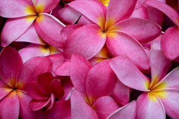Frangipani flowers pink Plumeria flower