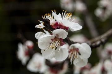 Macro Cherry blossoms