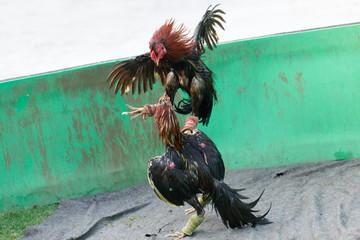 Gamecocks fight