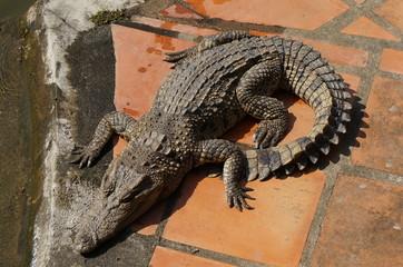 крокодил греется на солнце