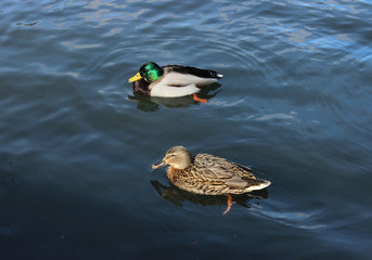 Male and female mallard duck (Anas platyrhynchos) are swimming.