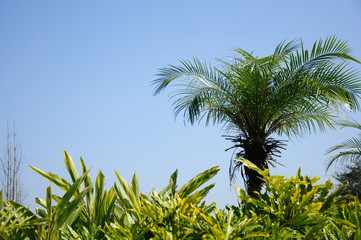 Beautiful palm tree in blue sky