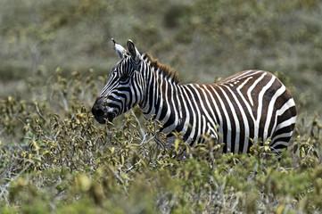 Wall Mural - Zebra in the savannah
