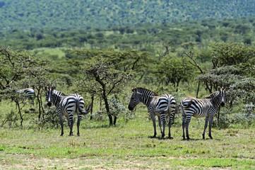 Fototapete - Zebra in the Masai Mara