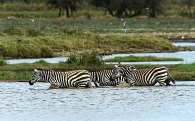 Wall Mural - Zebra in the Masai Mara