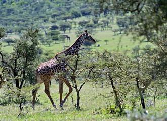 Fototapete - Giraffe