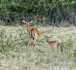 Fototapete - Antelope Impala in the savannah