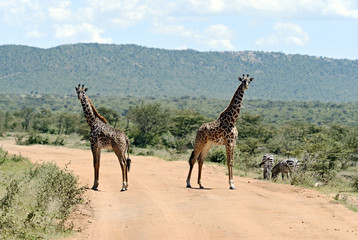 Fototapete - Giraffe in the African savannah