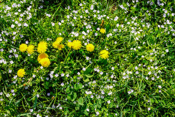 field with yellow dandelions closeup