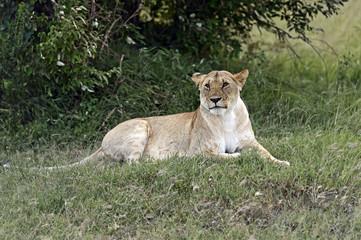 Fototapete - Portrait of African lion