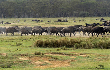 Fototapete - Buffalo in the savannah
