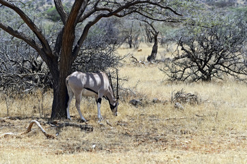 Wall Mural - Oryx gazella in the savannah