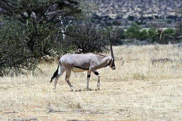 Wall Mural - Oryx gazella in the savannah