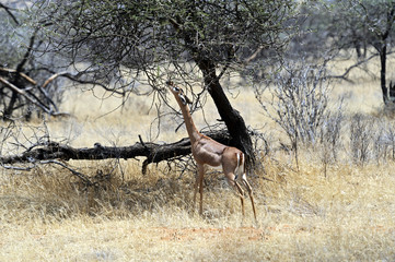 Wall Mural - Gerenuk in the savannah