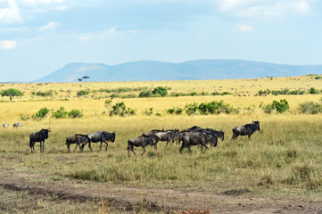 Wall Mural - Wildebeest in the savannah