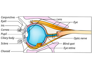 Anatomy of the eye, detailed illustration
