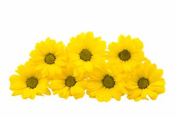 yellow chrysanthemum flowers isolated