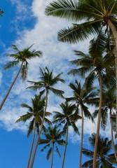 Palme caraibiche