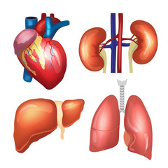 Realistic human organs set. Heart, lungs, kidneys, liver. Premium quality vector illustration