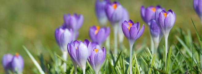 Türaufkleber Krokusse Blühende Krokusse im Frühling